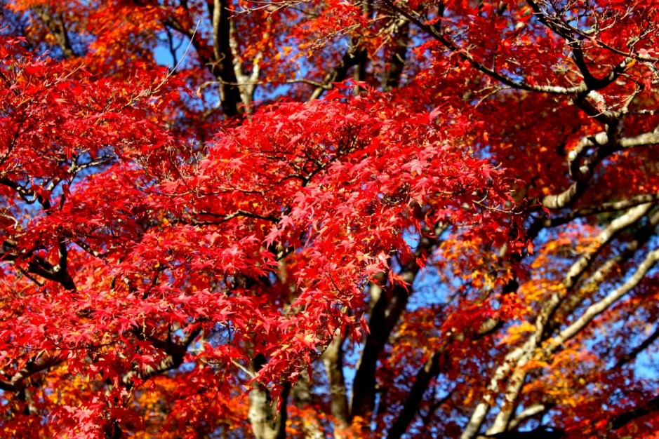 Changing Leaves in Japan